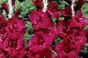 Gladiool paars
