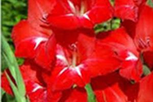 Gladiool rood