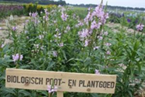 Schanierplant
